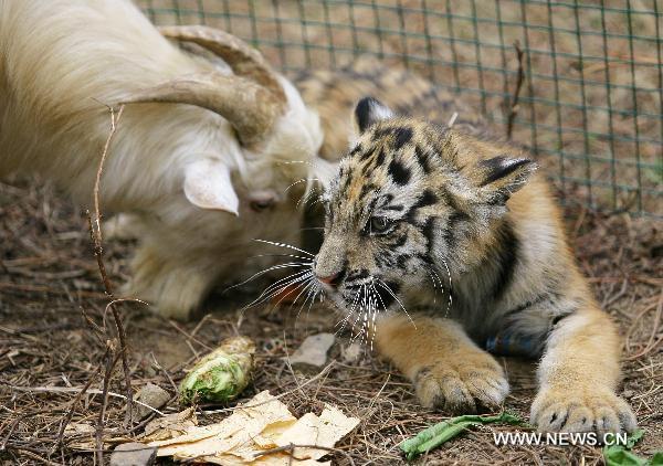 goat-tiger