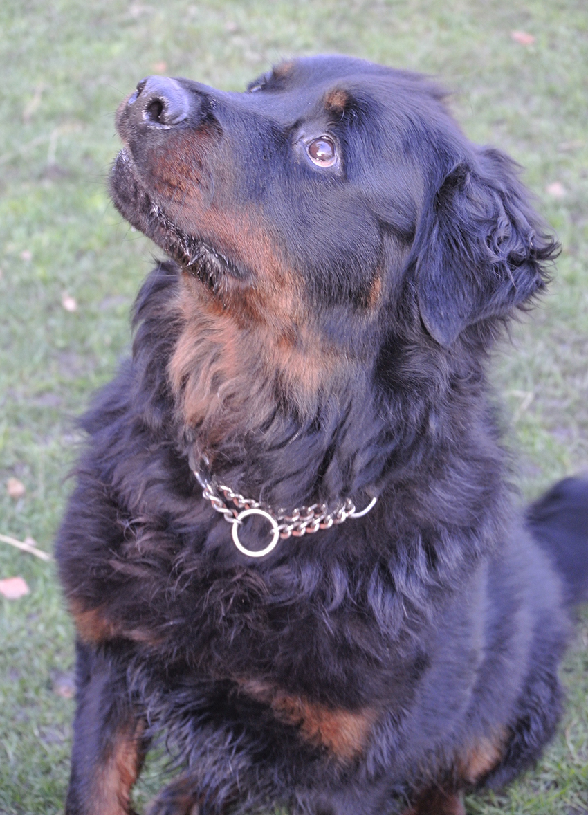 Chic Sale Previous Previous Ozzie Long Haired Rottweiler I Need A Home Long Haired Dotson Long Haired Dogs bark post Long Haired Dogs