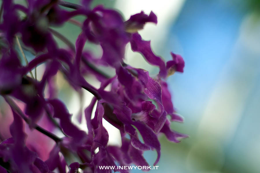 Cuba a new york the orchid show inewyork for Comprare casa a new york manhattan