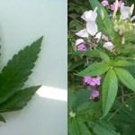 Marijuana_3