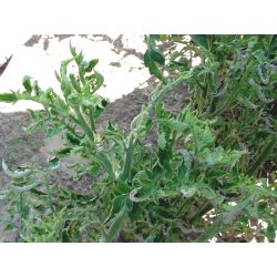 Small Crop Of Tomato Leaves Curling