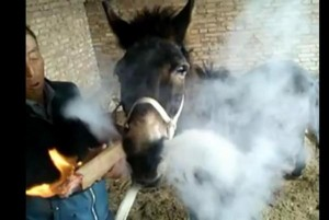 Donkey-smokes-giant-cigarette-held-by-owner