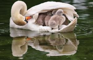 swan-cygnets_1455861b