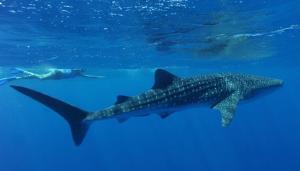 whaleshark_jamesmorgan_exmouth-western-australia