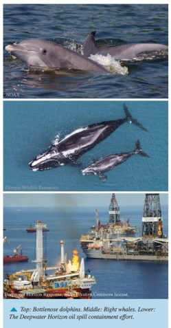 Top: Bottlenose dolphins. Middle: Right whales. Lower: The Deepwater Horizon oil spill containment effort.