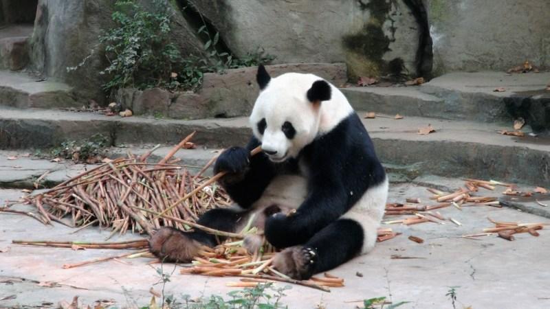 Spontan 24 timers togtur til Chengdu Panda reservat i Kina