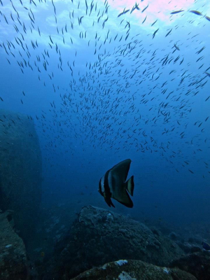 Similan islands, richelieu rock, koh tachai, koh bon, thailand, dykning, liveaboard, Khaolakscubaadventures, batfish
