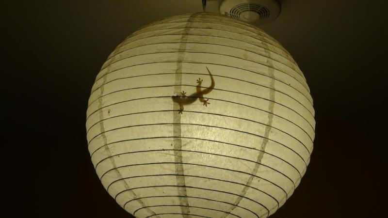 maasin, filippinerne, gekko