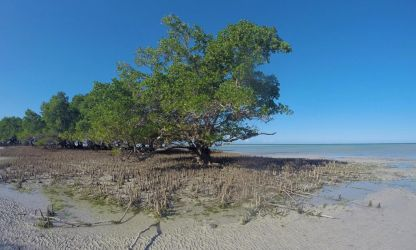Mangrove træ
