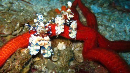 thailand, harlequin reje, shrimp, dykning