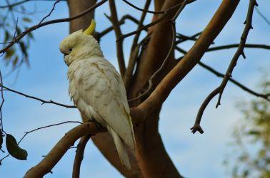 Australien, kakadue