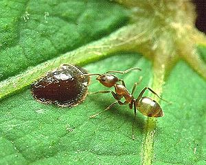 Ant Harm: Can Genetic Weapons Roll Back the Expansion of Argentine Ant Supercolonies?