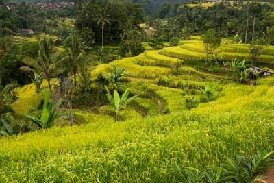 Le verdeggianti risaie di Jatiluwih a Bali