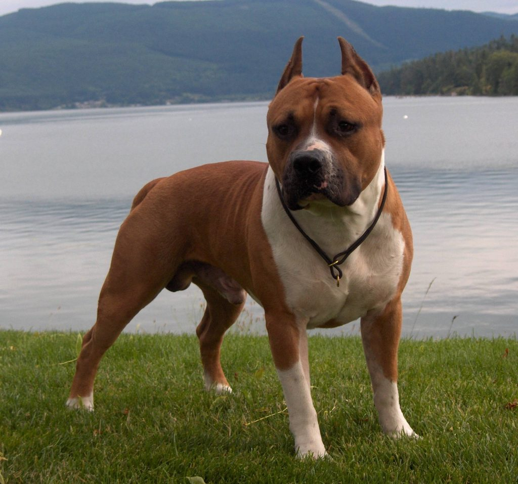Soothing Facts About Pit Bulls Pit Bull Dog Breed Information Idw Will Pitbulls Shed Do Blue Pitbulls Shed Surprising bark post Do Pitbulls Shed