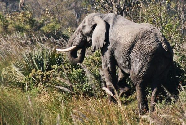 Elephant in the Okavango Delta - safari