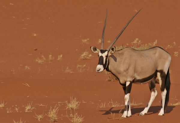oryx standing on the red sand dunes near Sossusvlei in the Namib Desert, Namibia, Africa