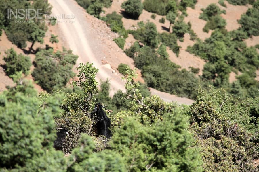 Atlas mountains - goat in the trees