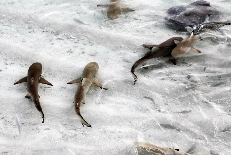 Reef sharks - Maldives