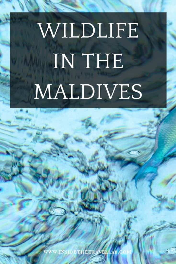 Wildlife in the Maldives - a beautiful experience on travel to the Maldives via @insidetravellab