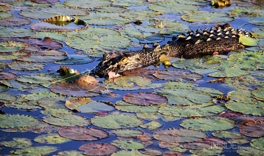 Kakadu Park Crocodile Amber Eye