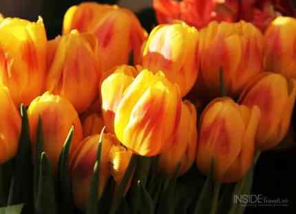 Tulips in Amsterdam002