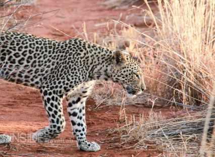 Leopard on safari at Makanyane Safari Lodge