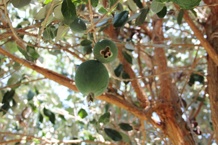 pineapple guava_feijoa_blog_2
