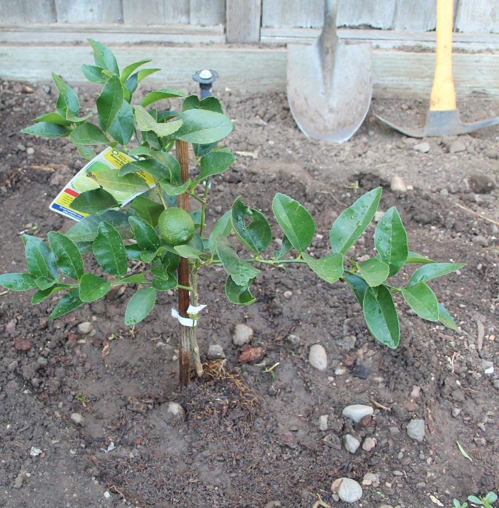 baby lime tree_blog