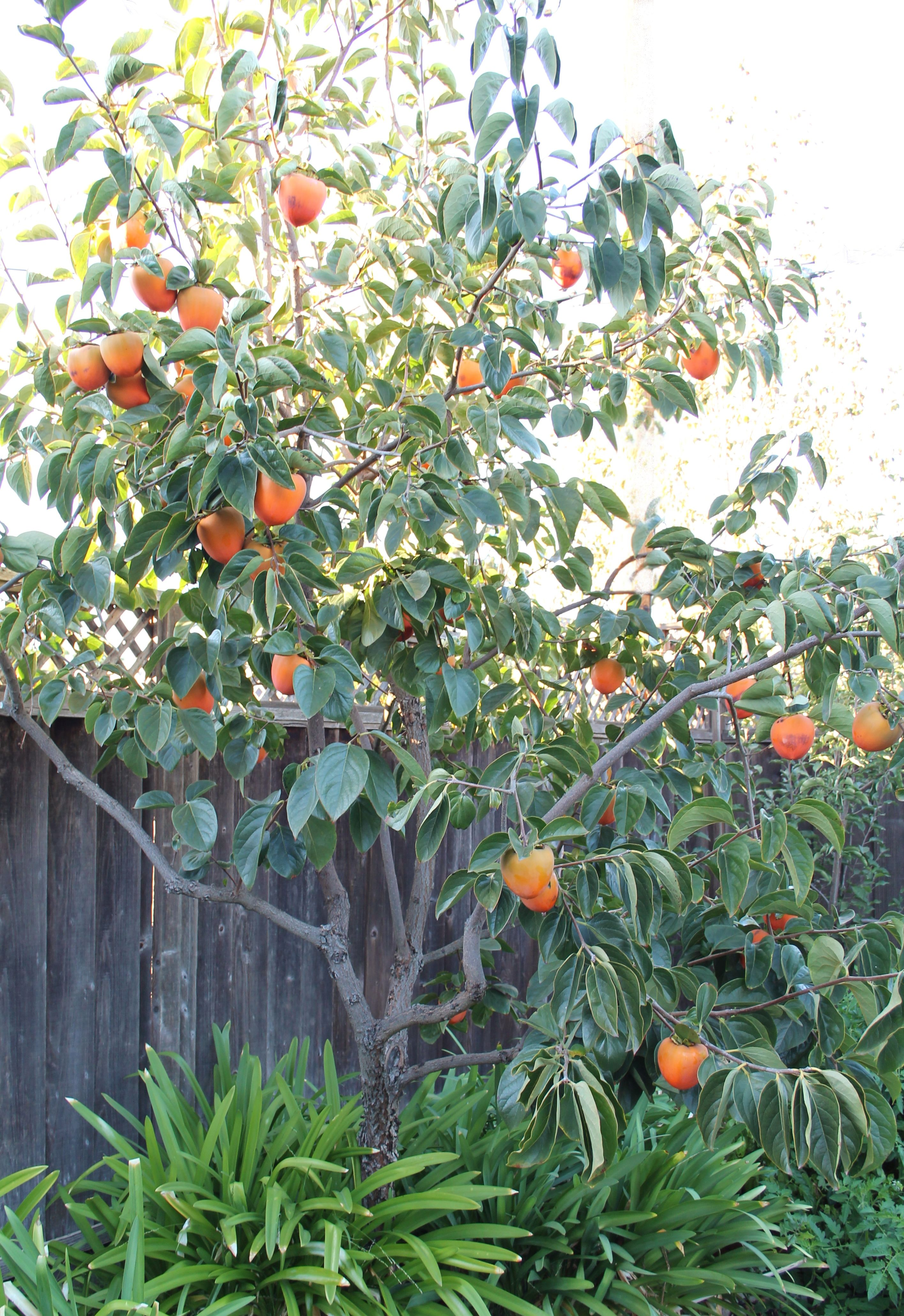 Ripe Hachiya Persimmon Tree_Inspired Edibles