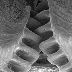 A close-up look at the gears of the juvenile plant-hopping insect, Issus. The first discovery of functional gears in nature.