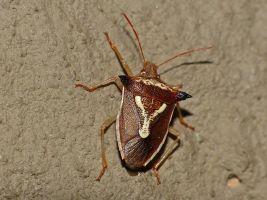 Grass_Stink_Bug_(Veterna_sp.)_(12932307065)