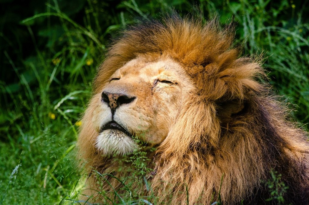 african-lion-981574_1280