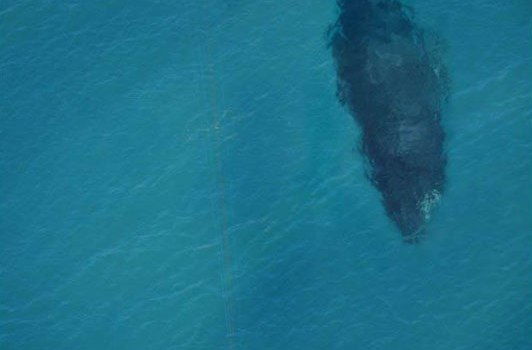 kite-surfing-with-whale-below-aerial-shot-from-above.jpg