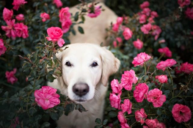 Dog Portraits Photography by Alicja Zmysłowska (14)
