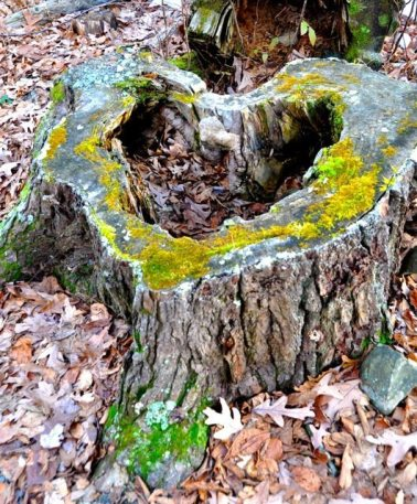 heart tree stump