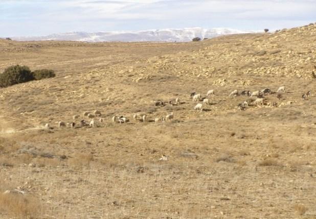 الصورة 3.أ : قطيع من الأغنام والماعز بالقرب من أشجار آيوال بمنطقة هكوكث