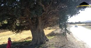 صورة لشجرة آيوال إلتقطناها بمنطقة إيغزر ن آه عبذي، ويبدو جليا حجم هذه الشجرة الصامدة.