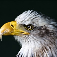 United States of America bald eagle - IBC problem