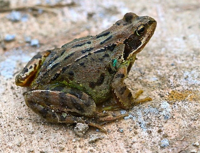 Common frog rana temporaria ireland 39 s wildlife for Frog consulting