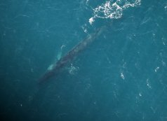 Fin whale photographed off the Irish coast