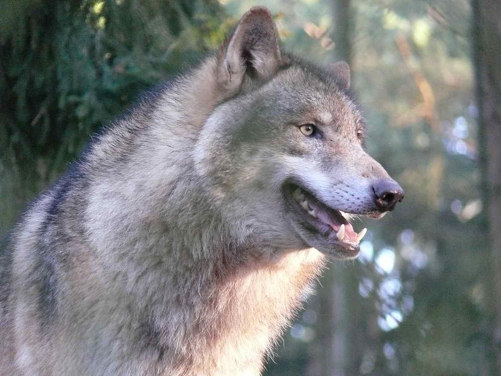 Re-introducing wolves to Ireland: could we? Should we?