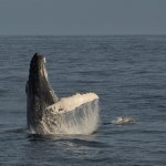 World class whale watching? Head for Ireland!