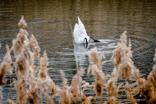 Schwan auf dem Prester See