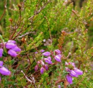 Not very barefoot-friendly, prickly, heather leaves