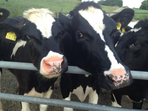 Cows from Garrendenny Lane Farm