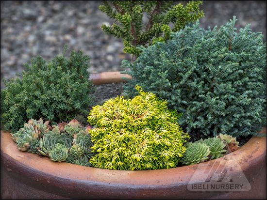 Kenwith Conifer Nursery Miniature and Dwarf Conifers