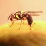 fruit_fly_rizvi
