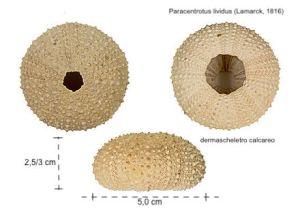 la struttura osssea del riccio di mare