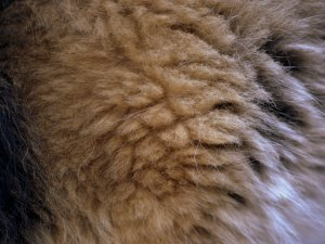 Our dog's fluffy fur up close