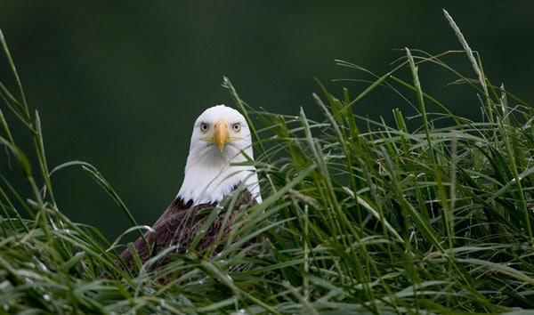 Bald Eagle on nest